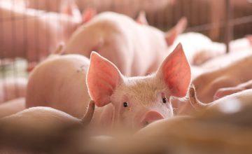Swine Fever Global Status: Current Preventive Measures