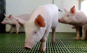 Situación mundial de la Peste Porcina: ¿Qué estamos haciendo para prevenir?