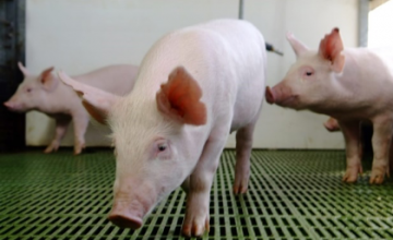 African swine fever: an issue that continues to concern the global pork industry